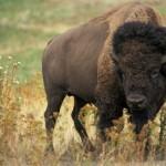Американский бизон: что это за зверь?