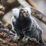 Древние зубы из Перу намекают на то, что ныне вымершие обезьяны пересекли Атлантику из Африки