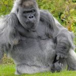 Может ли COVID-19 воздействовать на обезьян?