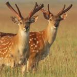 Антилопы, обитающие заповеднике Аскания-Нова
