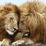 Количество африканских львов не соответствует норме