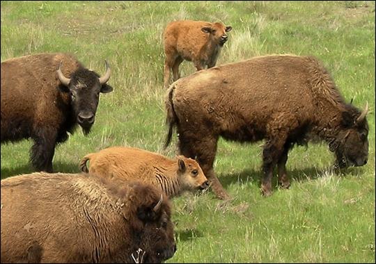 bison herd at catalina island, ca