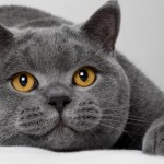 Как ухаживать за британской кошкой?