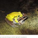 Эти лягушки могут изменить цвет, чтобы избежать путаницы во время оргий