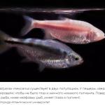 Рыба, которая едва спит, может помочь людям сократить сон