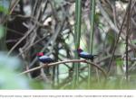 Познакомьтесь с птицами, которые работают как ведомые для других мужчин