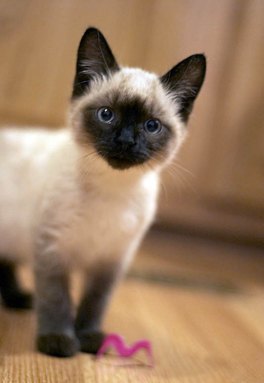 Siamese-cat-smile-e1431782090108
