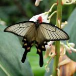 Бабочка «Парусник алкиной»