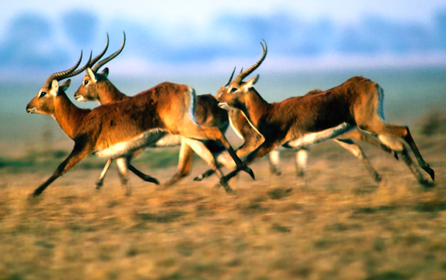 Антилопы Аскания-Нова