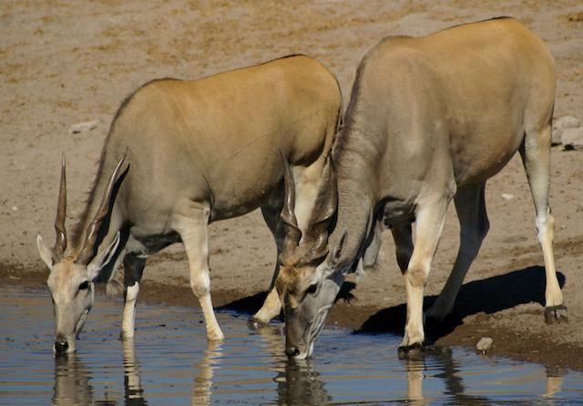 Антилопы Канны