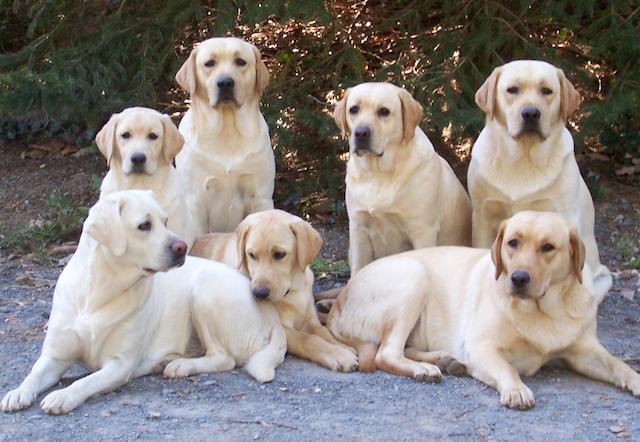 Семейство собак породы Лабрадор