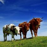 Породы коров – характеристики и особенности