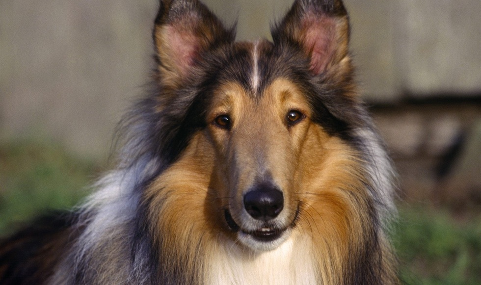 collie-dog-close-up-preview