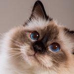 Как защитить свою кошку от паразитов с наступлением весны?