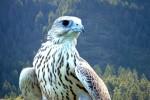 Кречет – самый большой русский сокол, а также другие птицы средней полосы