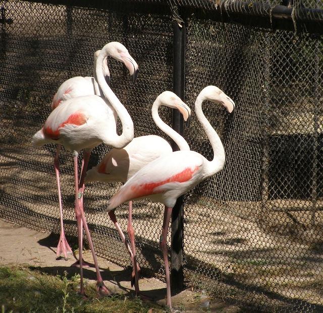 Фламинго в Аскания-Нова