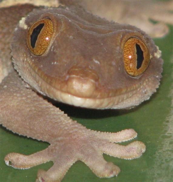 gekkon