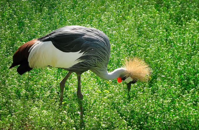 grey-crowned-crane-askania-nova-2
