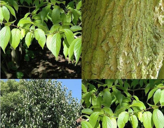 Растения гуттаперченосы