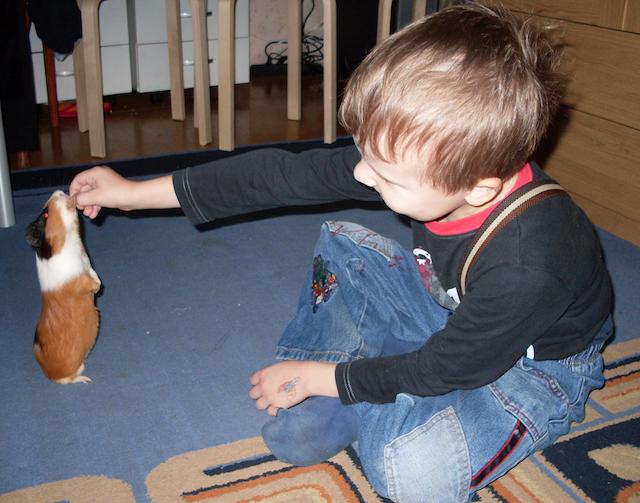 Малыш играет с морской свинкой