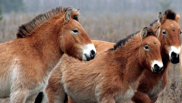Лошадь Пржевальского и кулан