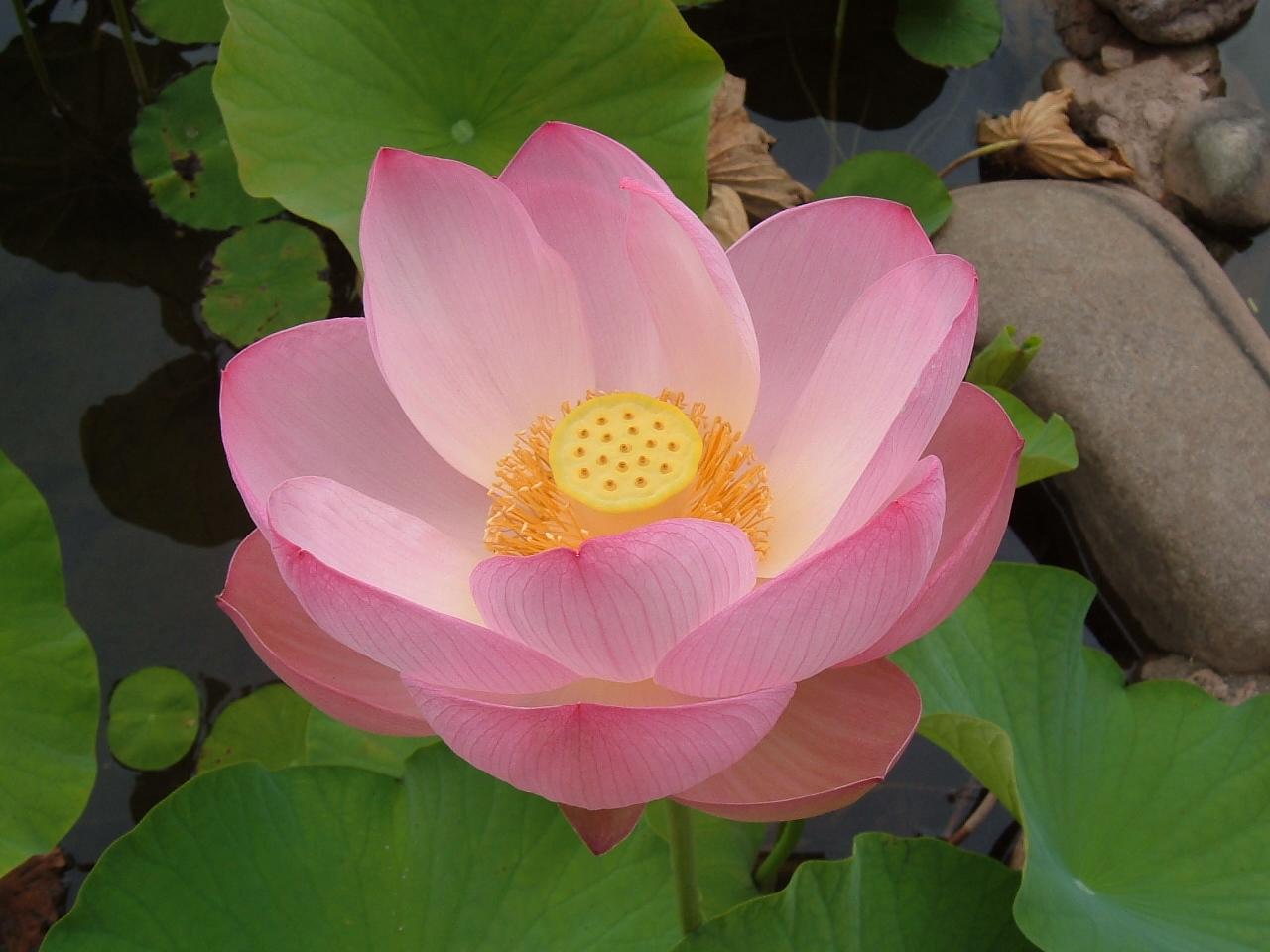 lotus-flower-wallpaper-4