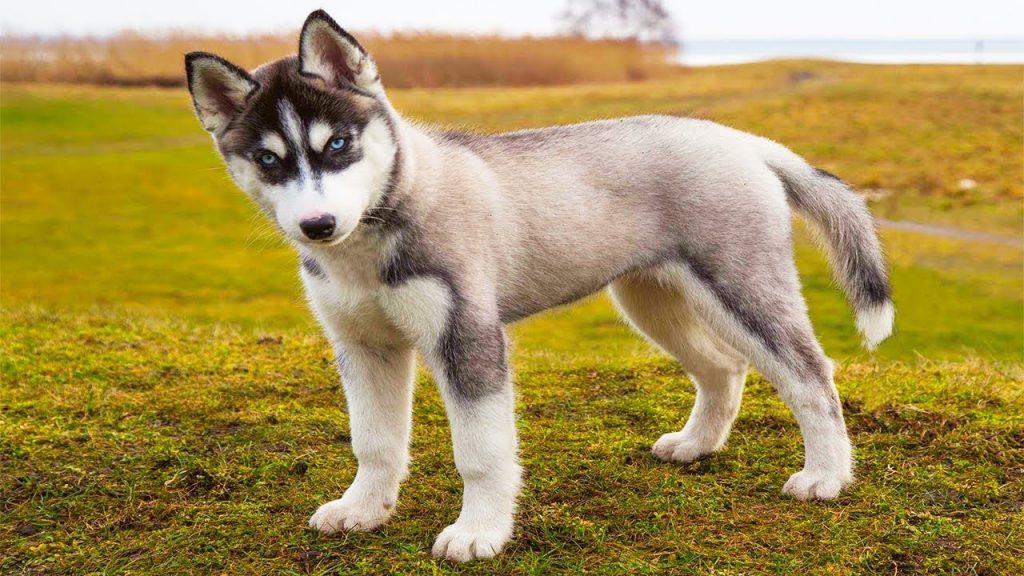 Могут ли собаки помочь обнаружить COVID-19?