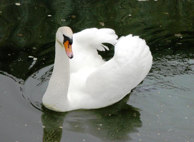 Лебедь-шипун Аскания Нова