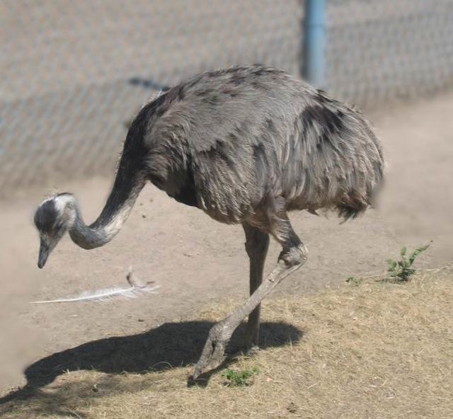 ostrich-askania-nova-02