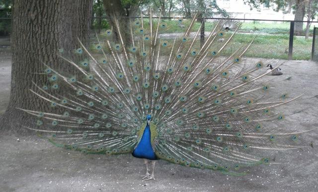 peacock-ascania-nova-2