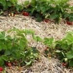 Осенняя посадка клубники: особенности