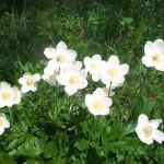 Цветок Ветреница